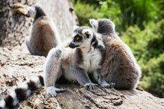 Grupo de lémures Anillo-atados que descansan sobre el tronco de árbol Fotografía de archivo
