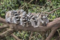 Grupo de lêmures no ramo de árvore Imagens de Stock