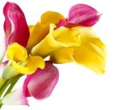 Grupo de lírios amarelos e cor-de-rosa de cala Foto de Stock