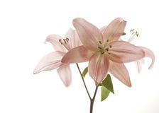 Grupo de lírios cor-de-rosa macios no fundo branco Fotos de Stock Royalty Free