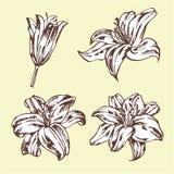 Grupo de lírios isolados no fundo bege Ilustração desenhada mão Imagens de Stock Royalty Free