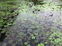 Grupo de lótus cor-de-rosa na lagoa da vista alta fotos de stock royalty free