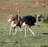Grupo de la avestruz 3 Fotografía de archivo