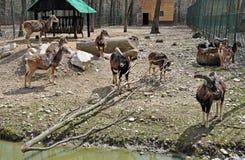 Grupo de la cabra Fotografía de archivo