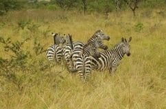 Grupo de la cebra en Akagera Parc nacional, Rwanda, África Foto de archivo