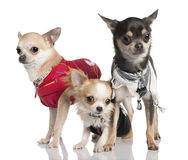 Grupo de la chihuahua tres Foto de archivo libre de regalías
