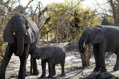 Grupo de la familia de los elefantes africanos en los llanos Imagen de archivo