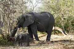 Grupo de la familia de los elefantes africanos en los llanos Foto de archivo libre de regalías