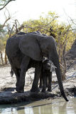 Grupo de la familia de los elefantes africanos en los llanos Foto de archivo