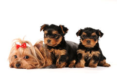 Grupo de la familia de terrier de yorkshire Foto de archivo libre de regalías