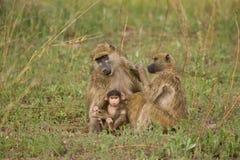 Grupo de la familia del babuino de Chacma Fotografía de archivo