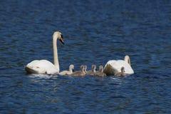 Grupo de la familia del cisne mudo Fotos de archivo