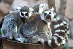 Grupo de la familia del Lemur Imágenes de archivo libres de regalías