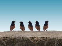 Grupo de la Pájaro-India de golpe ligero con cresta fotos de archivo libres de regalías