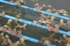 Grupo de la rana en de la granja Foto de archivo libre de regalías