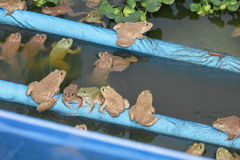 Grupo de la rana en de la granja Imagen de archivo libre de regalías