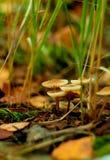 Grupo de la seta del bosque foto de archivo