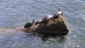 Grupo de la tortuga que asolea en un registro metrajes