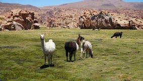 Grupo de lama de los Guanacos imagenes de archivo