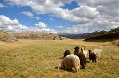 Grupo de lamas con las ruinas de Sacsayhuaman fotografía de archivo libre de regalías
