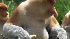 Grupo de larvatus del Nasalis del mono de probóscide que come en la plataforma de alimentación animal endémico en peligro de Born metrajes