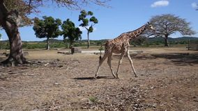 Grupo de las jirafas de Rothschild almacen de metraje de vídeo