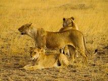 Grupo de leões Foto de Stock