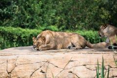 Grupo de leões Fotos de Stock