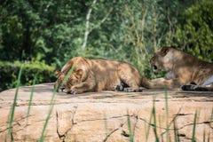 Grupo de leões Fotografia de Stock Royalty Free