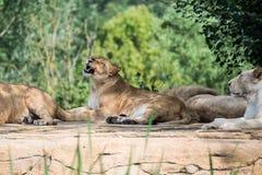 Grupo de leões Fotos de Stock Royalty Free