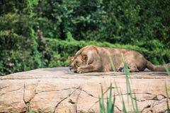 Grupo de leões Fotografia de Stock