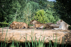 Grupo de leões Imagem de Stock Royalty Free