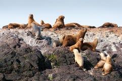 Grupo de leões de mar Imagens de Stock Royalty Free