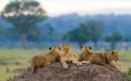 Grupo de leões novos no monte Parque nacional kenya tanzânia Masai Mara serengeti imagem de stock