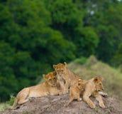 Grupo de leões novos no monte Parque nacional kenya tanzânia Masai Mara serengeti foto de stock royalty free