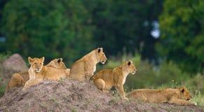 Grupo de leões novos no monte Parque nacional kenya tanzânia Masai Mara serengeti fotos de stock