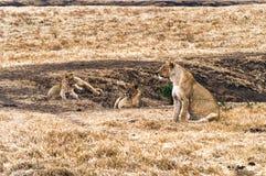 Grupo de leonas Foto de archivo libre de regalías