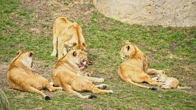 Grupo de leones con los cachorros almacen de metraje de vídeo