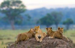 Grupo de leones jovenes en la colina Parque nacional kenia tanzania Masai Mara serengeti Foto de archivo libre de regalías