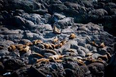 Grupo de leones marinos en roca Imagen de archivo libre de regalías