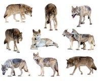 Grupo de lobos cinzentos. Isolado sobre o branco Fotografia de Stock