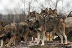 Grupo de lobos grises europeos foto de archivo