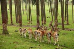 Grupo de los ciervos de huevas Foto de archivo libre de regalías
