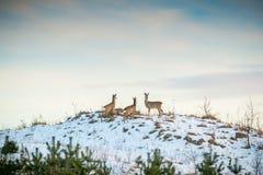 Grupo de los ciervos de huevas imagen de archivo libre de regalías