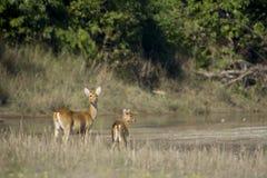 Grupo de los ciervos del pantano en Nepal Imagen de archivo