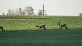 Grupo de los ciervos de huevas del mamífero en campo de la primavera almacen de metraje de vídeo