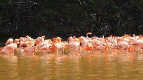 Grupo de los flamencos rosados, flamencos en la reserva de la biosfera de Celestun, Yucatán almacen de video