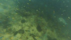 Grupo de los pescados de la trucha salmonada subacuático almacen de video