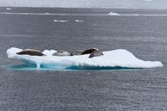 Grupo de los sellos de Crabeater en el hielo en el antártico Imagenes de archivo