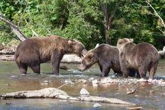 Grupo de luta selvagem do urso dos arctos do Ursus dos ursos marrons no lago foto de stock royalty free